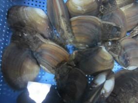 篠島素潜り漁のミル貝